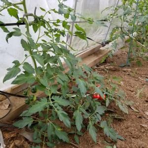 トマトの水ストレス栽培