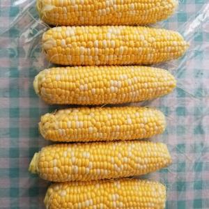 トウモロコシの初収穫 ばっちり
