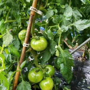トマトとミニトマト  雨の日の収穫