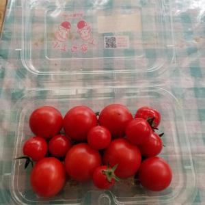 トマトの水ストレス栽培   難しい。