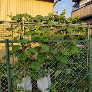 妻の超ミニ菜園   きゅうり4株の畑