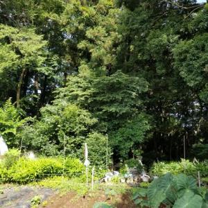 生姜、蒟蒻、里芋    栽培に適した畑