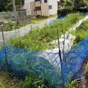 スイカの畝の撤去作業