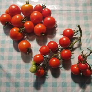 水ストレス栽培   トマトの収穫