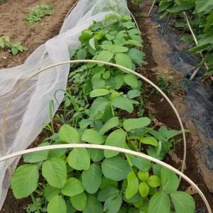 丹波の黒大豆  今年も今の所順調だ。