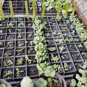 葉物野菜の発芽状況