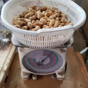 オオマサリの収穫