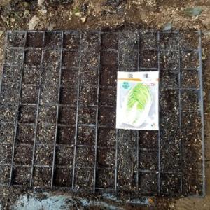 白菜の播種と葉物野菜の生育状況