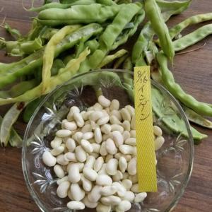 インゲン豆の自家採種