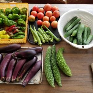 朝の野菜の収穫