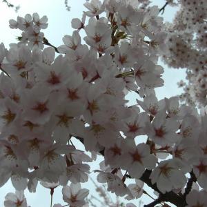 今年は桜があまり眺められなかったなぁ…春はあけぼの?