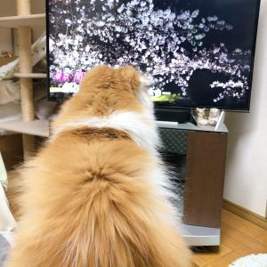 テレビ好きなピーチくん&はちみつ2種♪