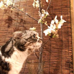 お家の中でお花見にゃ♪