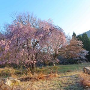 桜の大萩2021! 【滋賀県東近江市百済寺甲町】