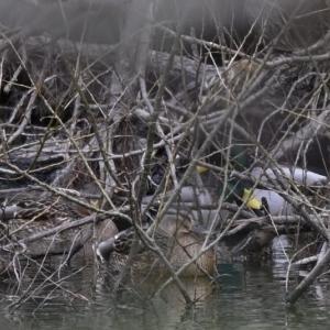 マガモ発見までの流れを撮影!エアライフルの狩猟でグローブは必要ない??