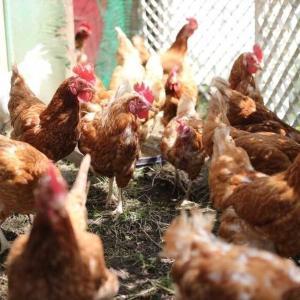 【教育】小学校の飼育小屋から「ニワトリ」「ウサギ」が消えつつある…きっかけは鳥インフルエンザだった !?