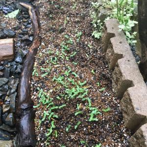 蓮華草を間引いて、別の場所へ植え直す。そして、大津祭りへ参る。