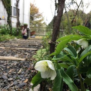 引きこもりで庭仕事と決意。ルピナス ピクシーディライトが、ナメクジにやられる!