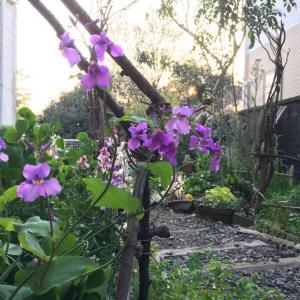 蓮華草が咲いた爺様ガーデンは、子供たちの為の花摘みガーデン。