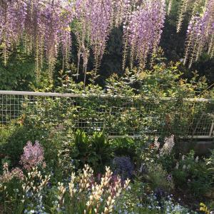 こんがらがったスィートピーの仕立て直しと、種まきした背の高い植物は、花咲くのが遅い。