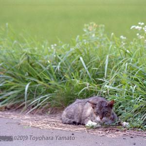 夏の昼寝ネコ