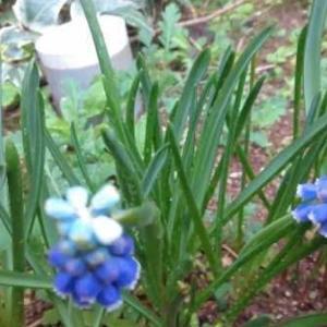 チューリップとムスカリの花