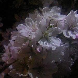 夜桜と枝垂れ梅