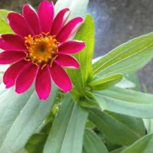 ジニアの花が咲いた