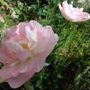 八重咲チューリップフィノーラが咲いた