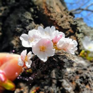 御殿桜(ヒガンザクラ)とソメイヨシノ❀大きさ比べ
