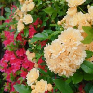 庭の木香薔薇(モッコウバラ)とツツジが綺麗です( *ˊᵕˋ )