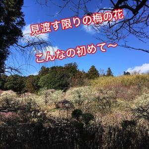 【龍尾神社】2020年しだれ梅速報!! 花庭園は梅満開 見渡す限りのしだれ梅【静岡県掛川市】