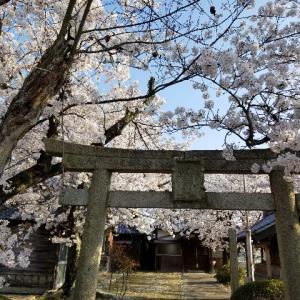 鳥居と桜と猫とチャリ