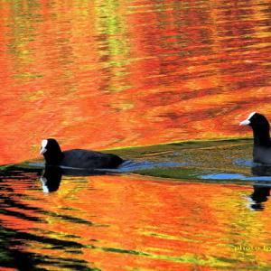 秋色に染まる水面を水鳥が通る