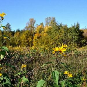 黄葉に加えて黄の花の群生する道