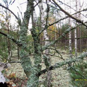 白樺や松にも生え上るハナゴケ群生