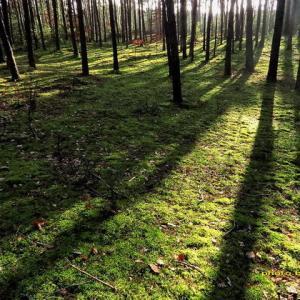 苔の森の静寂を破るアカゲラの音