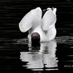 白黒ユリカモメ~異なる鳥の如きww