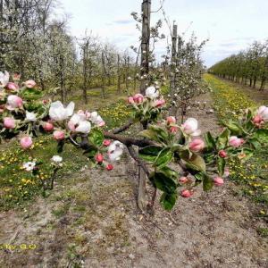 可愛いリンゴの花が咲き始めたが…
