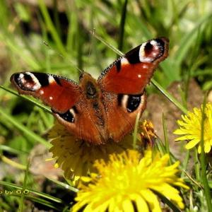 春の森を飛び交うチョウと青い花