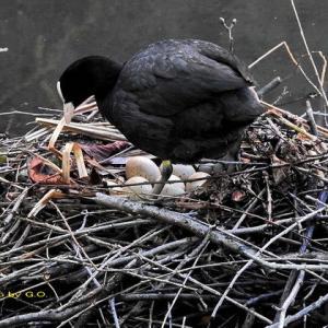 オオバンの巣が更に2つもある!ww