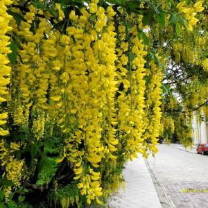 『ヨーロッパの藤』が咲き始めたww
