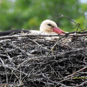 コウノトリがホテルの巣で抱卵開始