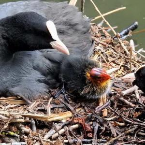 宮殿横でオオバンの雛が孵っていた