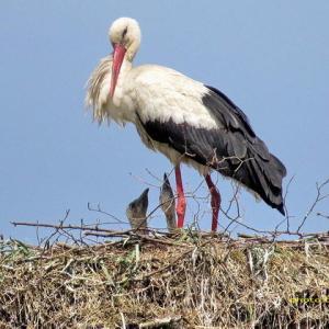 やっと雛が2羽以上見える巣がある
