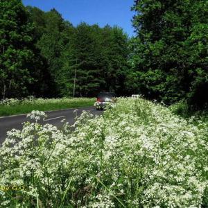 白い花が延々と続く『シャク街道』