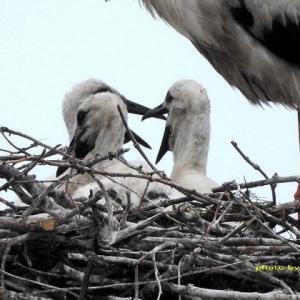 一方で3羽の雛は順調に育っている