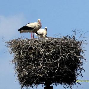 ワルシャワ市内の巣にも雛がいるww