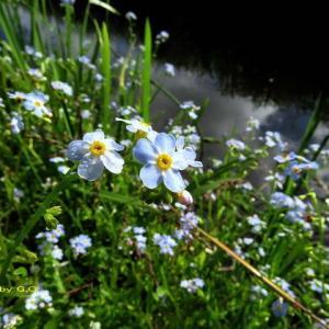 今が盛りの忘れな草は水辺に咲く