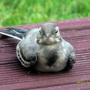 ハクセキレイ若鳥はすっかり一人前